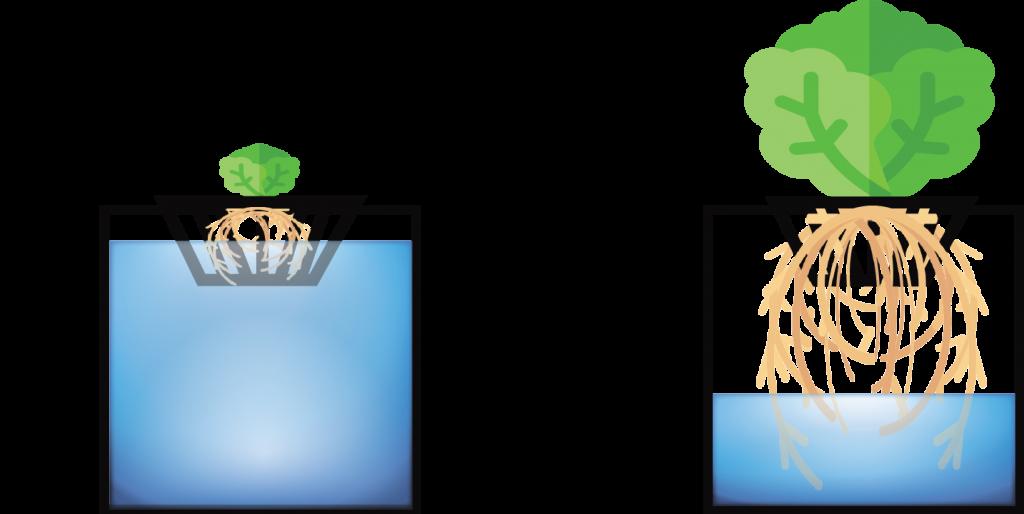 Kratky Hydroponic Method