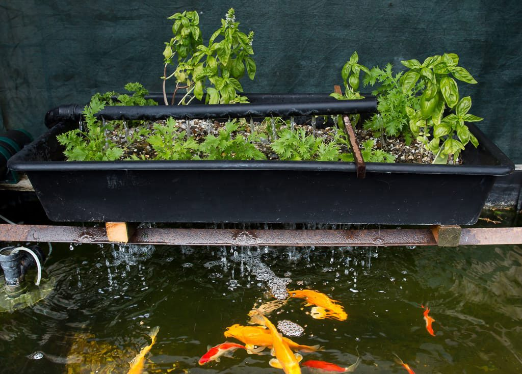 Aquaponic System with Koi Fish