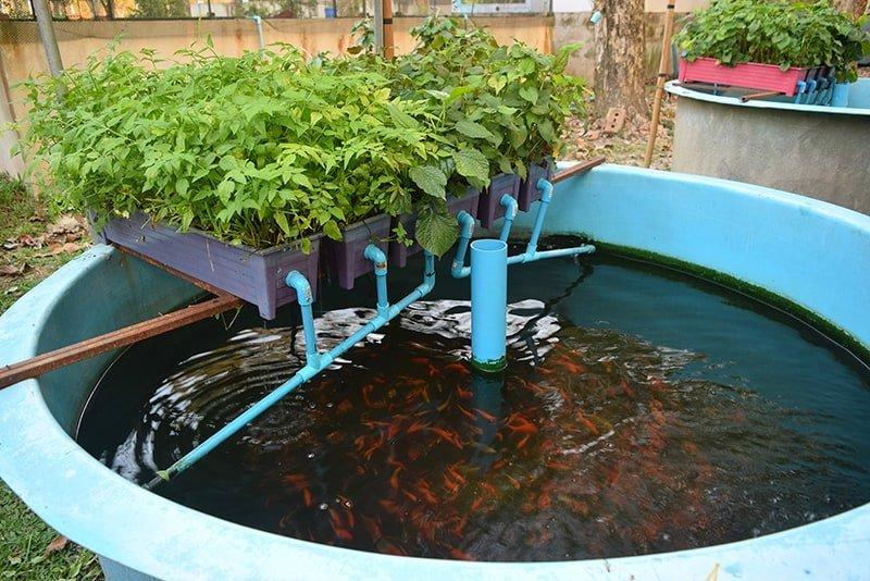 Hydroponics with fish